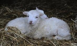 Easter lambs at Tierpark Berlin
