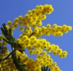 beautiful yellow mimosa in bloom and the blue spring sky
