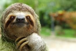 Closeup of a three-toed sloth, Costa Rica