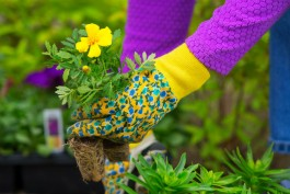 Gardening, Planting,  Flowers,  Woman holding flower plants to plant in garden, woman's hands in Gardening Gloves
